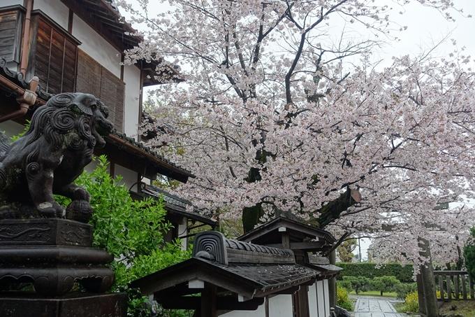 京都_桜_2020_23 吒枳尼天 No11