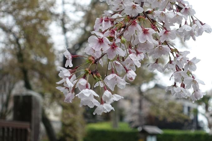 京都_桜_2020_23 吒枳尼天 No12
