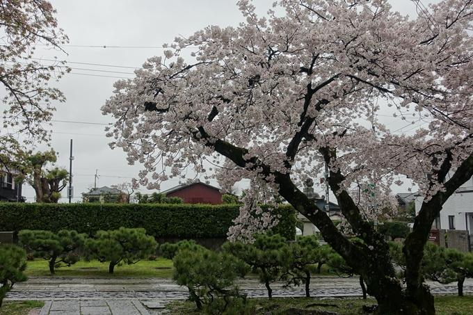 京都_桜_2020_23 吒枳尼天 No13