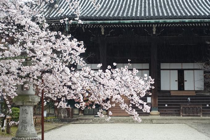 京都_桜_2020_22 真如堂 No9