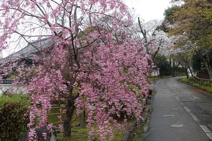 京都_桜_2020_22 真如堂 No13