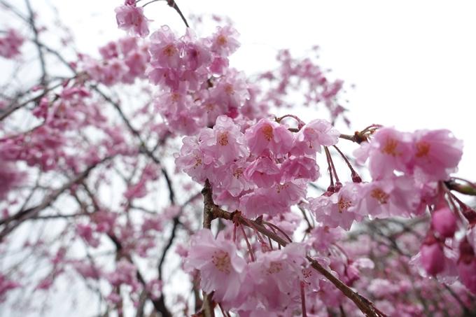 京都_桜_2020_22 真如堂 No15
