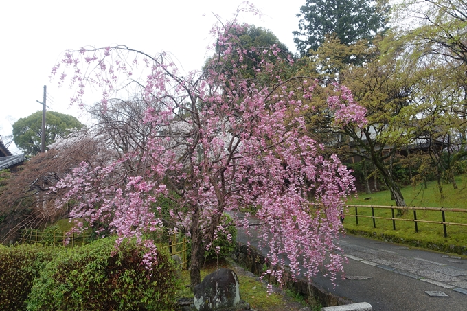 京都_桜_2020_22 真如堂 No18