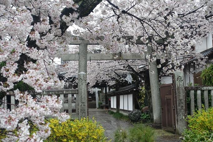 京都_桜_2020_23 吒枳尼天 No16