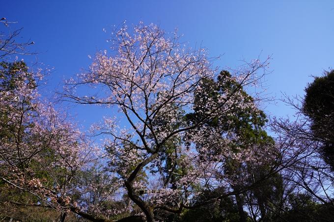 京都_桜_2020_20 真如堂 No17