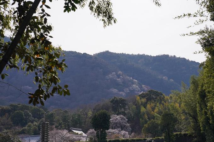 京都_桜_2020_16 嵐山公園 No3