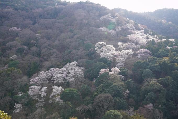 京都_桜_2020_16 嵐山公園 No16