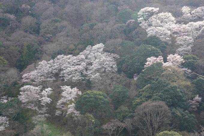 京都_桜_2020_16 嵐山公園 No17