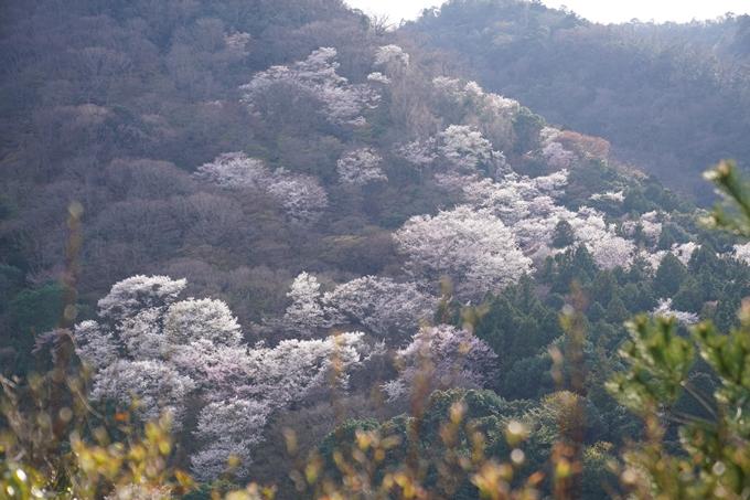 京都_桜_2020_16 嵐山公園 No18