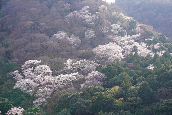 京都_桜_2020_16 嵐山公園 No21