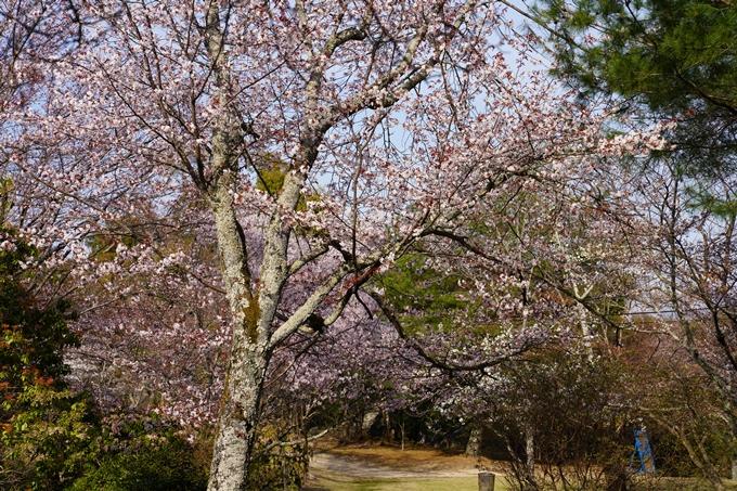 京都_桜_2020_17 嵐山公園 No5