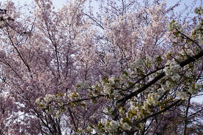 京都_桜_2020_17 嵐山公園 No6