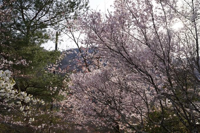 京都_桜_2020_17 嵐山公園 No7