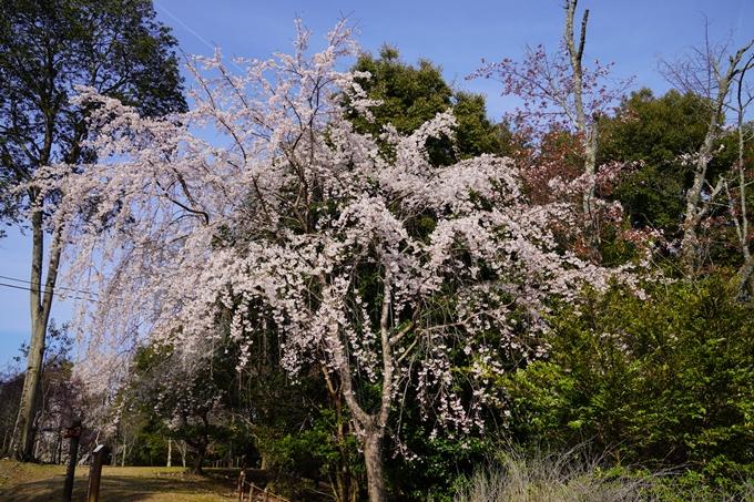 京都_桜_2020_17 嵐山公園 No10