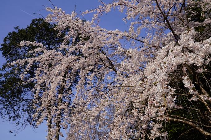 京都_桜_2020_17 嵐山公園 No11