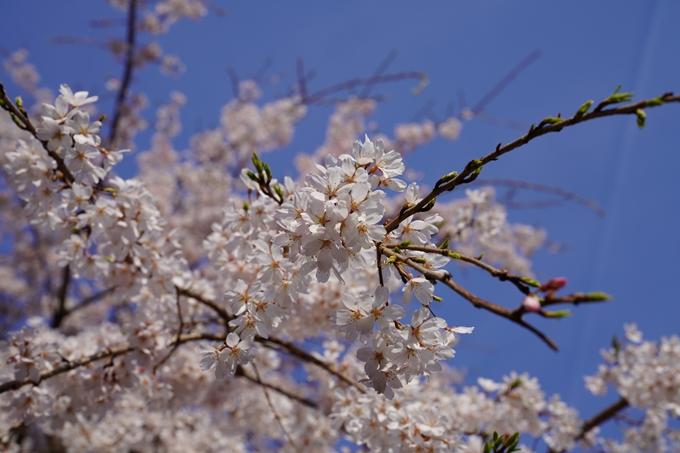 京都_桜_2020_17 嵐山公園 No12
