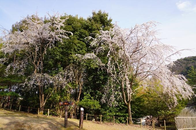 京都_桜_2020_17 嵐山公園 No13