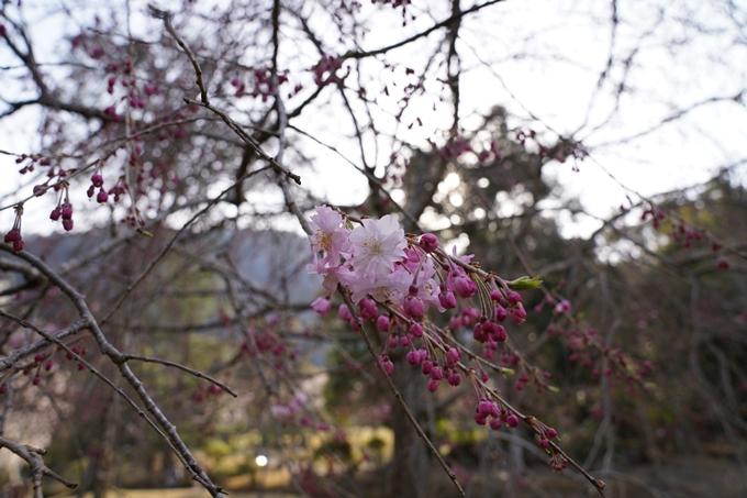 京都_桜_2020_17 嵐山公園 No14