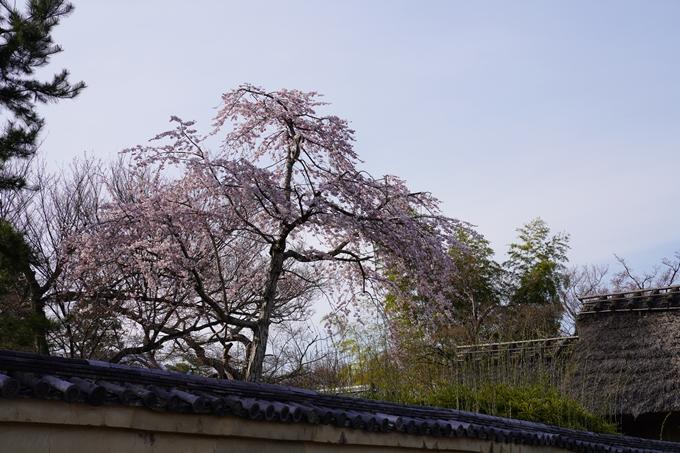 京都_桜_2020_18 嵯峨釈迦堂 No2