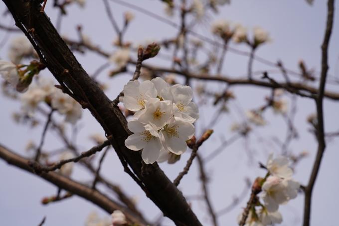 京都_桜_2020_18 嵯峨釈迦堂 No22