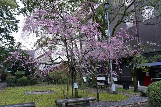 京都_桜_2020_24 岡崎神社 No8