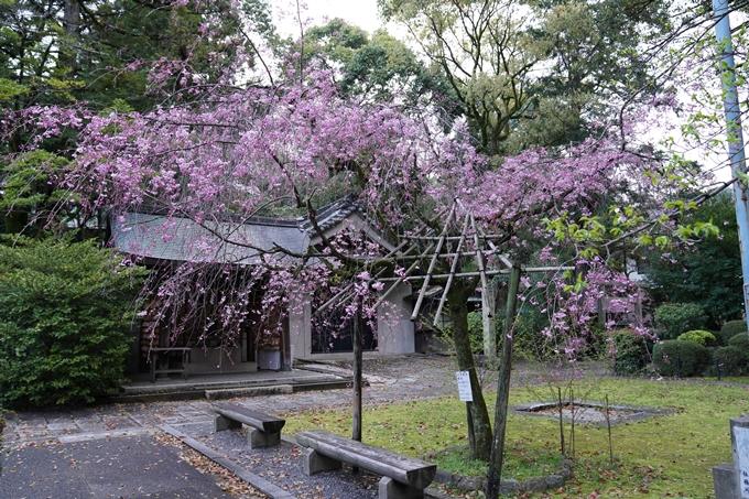 京都_桜_2020_24 岡崎神社 No9