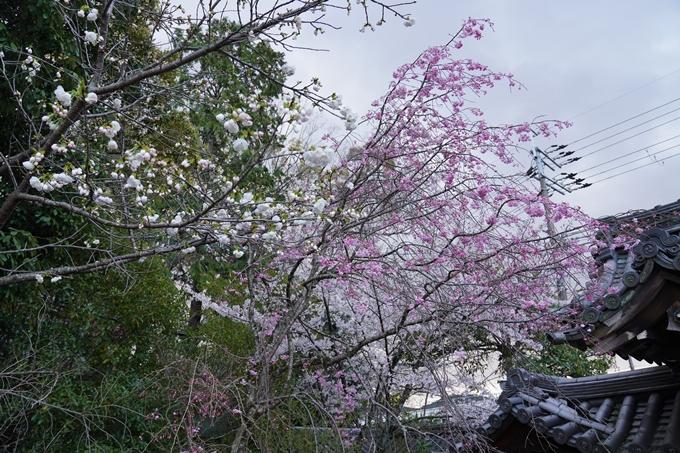 京都_桜_2020_24 岡崎神社 No11