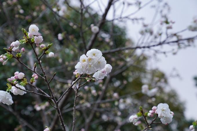 京都_桜_2020_24 岡崎神社 No12
