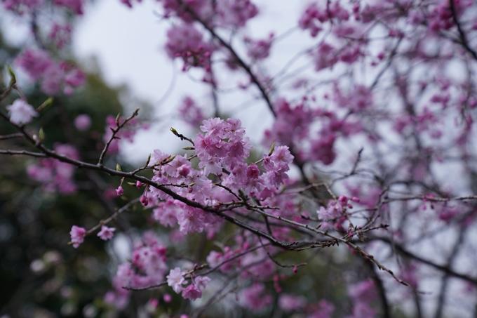 京都_桜_2020_24 岡崎神社 No13