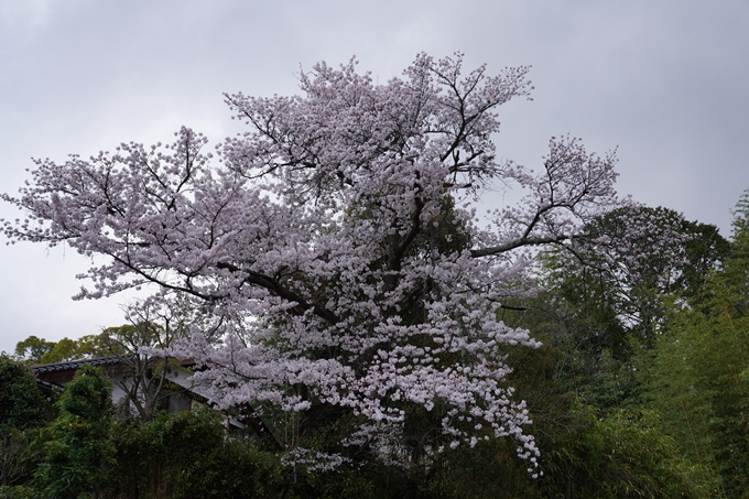 京都_桜_2020_24 岡崎神社 No15