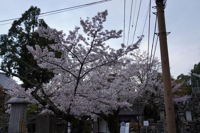 京都_桜_2020_25 金戒光明寺 No3