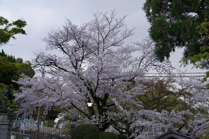 京都_桜_2020_25 金戒光明寺 No6