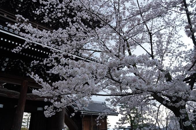 京都_桜_2020_25 金戒光明寺 No12