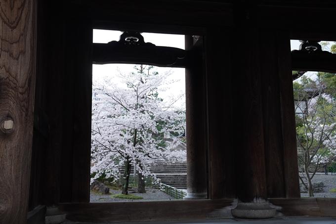 京都_桜_2020_25 金戒光明寺 No13