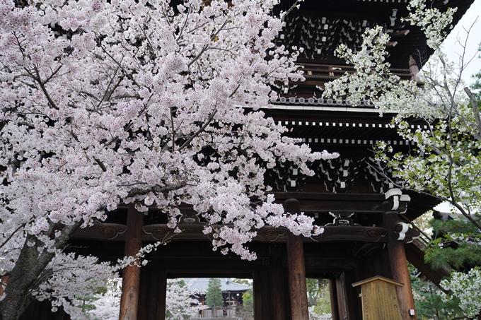 京都_桜_2020_25 金戒光明寺 No15