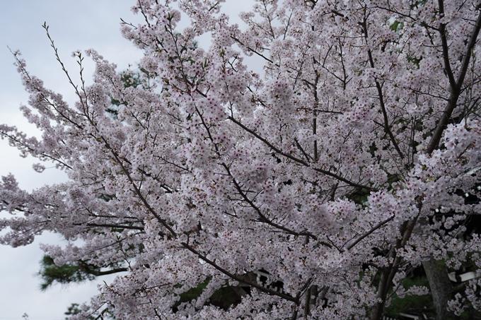 京都_桜_2020_25 金戒光明寺 No22