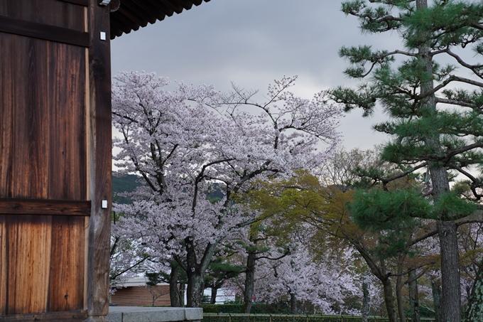 京都_桜_2020_25 金戒光明寺 No23