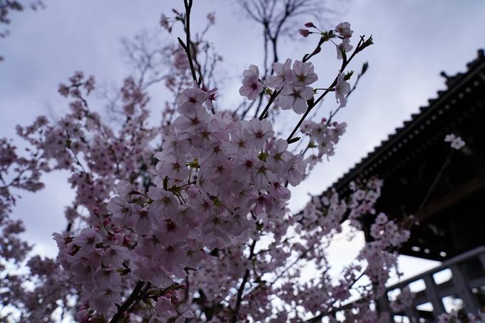 京都_桜_2020_25 金戒光明寺 No24