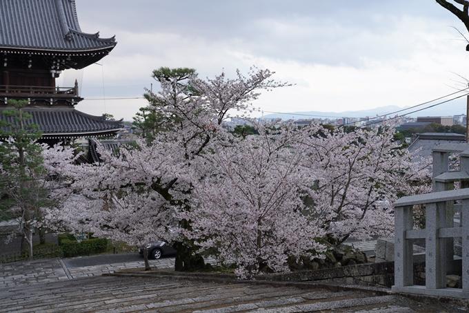 京都_桜_2020_25 金戒光明寺 No25
