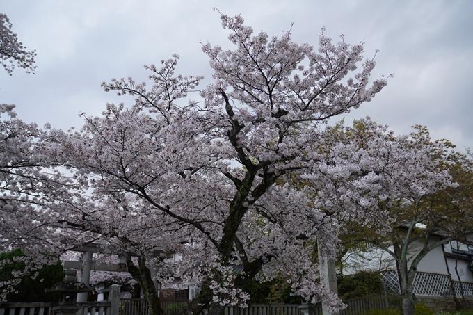 京都_桜_2020_26 真如堂前 No3