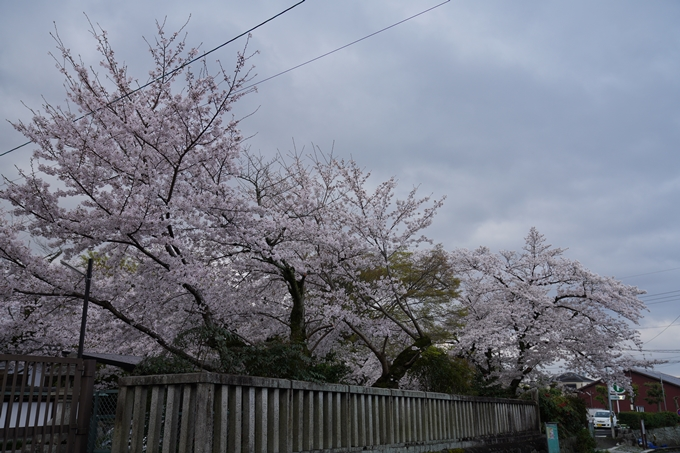 京都_桜_2020_26 真如堂前 No7