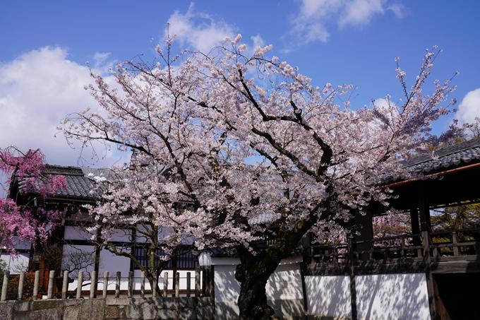 京都_桜_2020_27 妙顕寺 No12
