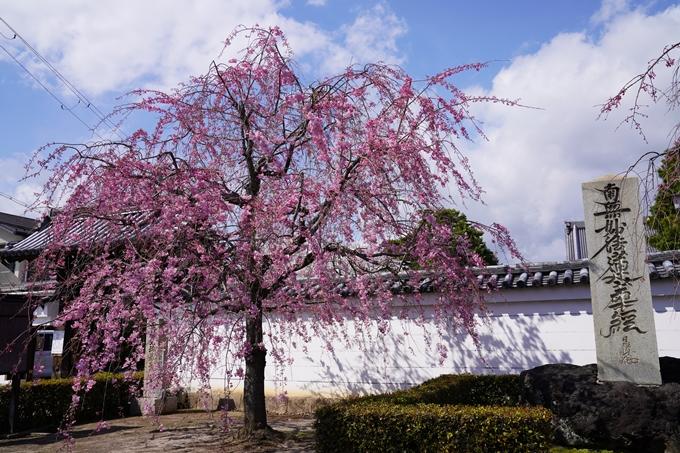 京都_桜_2020_27 妙顕寺 No27