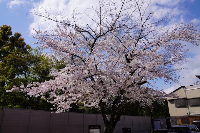京都_桜_2020_28 本法寺 No2