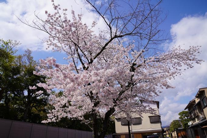 京都_桜_2020_28 本法寺 No3