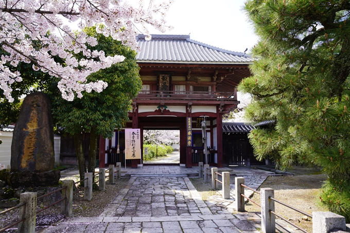 京都_桜_2020_28 本法寺 No5