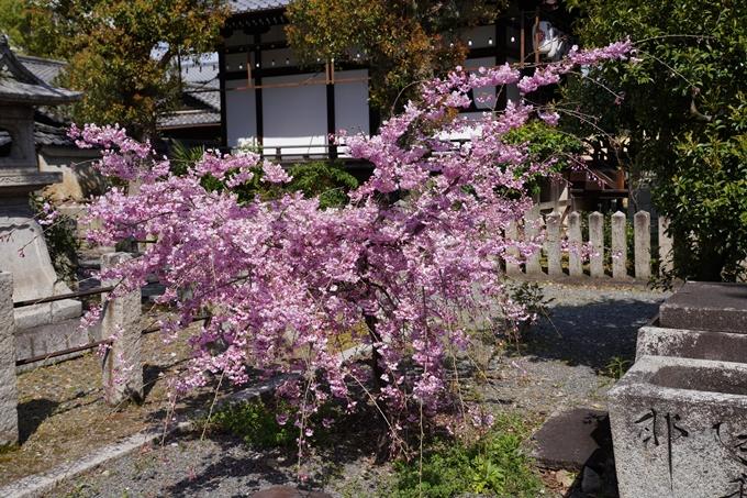 京都_桜_2020_28 本法寺 No13