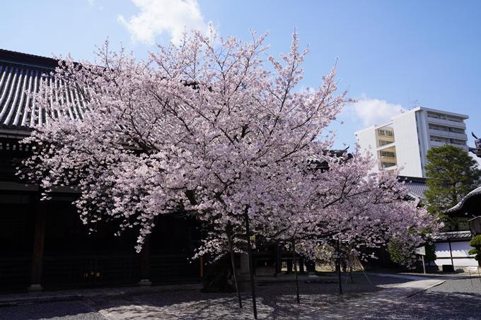 京都_桜_2020_28 本法寺 No15