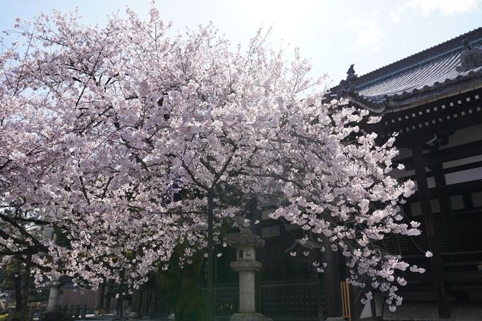 京都_桜_2020_28 本法寺 No16