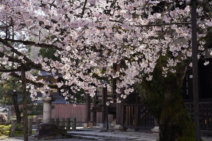 京都_桜_2020_28 本法寺 No17